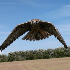 Falconry Response