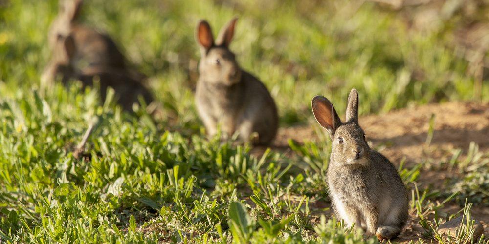 https://www.skyraiders.co.uk/wp-content/uploads/2017/11/wild-rabbits.jpg